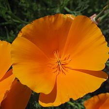 ESCHSCHOLZIA californica 'Orange King', California Poppy