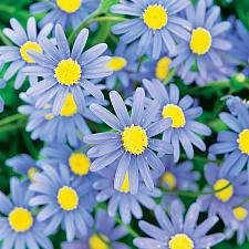 FELICIA amelloides 'Forever Blue', Blue Marguerite