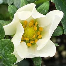 FRAGARIA x ananassa 'Elan' (Strawberry), Everbearing Garden Strawberry