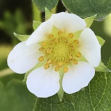 FRAGARIA 'Mara des Bois', Everbearing Alpine/Woodland Strawberry