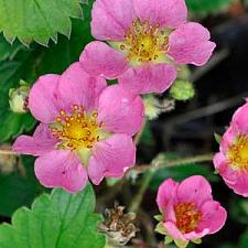 FRAGARIA Pink Panda (='Frel'), Ornamental Strawberry