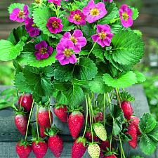 FRAGARIA x ananassa 'Tristan', Strawberry