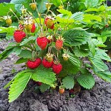 FRAGARIA vesca var. vesca, Alpine, Wild or Woodland Strawberry
