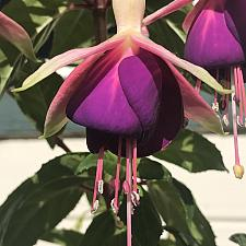 FUCHSIA species,