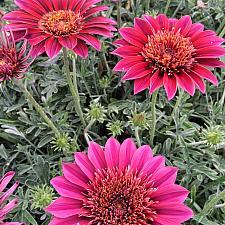 GAZANIA SunBathers 'Otomi', Treasure Flower