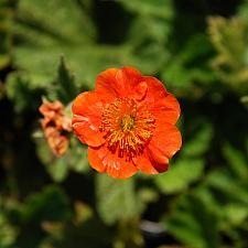 GEUM 'Borisii', Grecian Rose, Avens