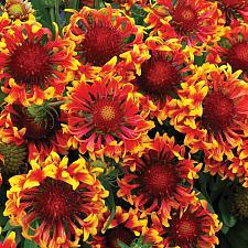 GAILLARDIA 'Sun Devil', Blanketflower, Sun Series