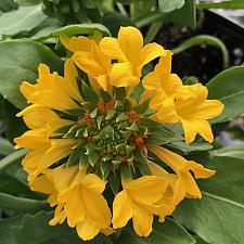 GAILLARDIA Commotion 'Moxie', Blanketflower