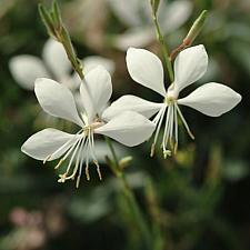 GAURA lindheimeri Ballerina White ('Baltincite'), Beeblossom, Butterfly Flower, Wand Flower