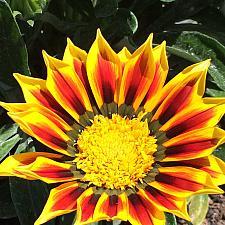 GAZANIA SunBathers 'Totonaca', Treasure Flower