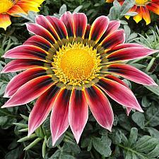 GAZANIA rigens 'Giant Violet Bicolor', Treasure Flower