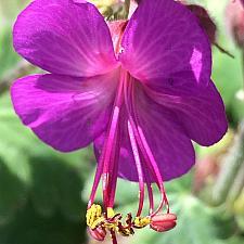 GERANIUM macrorrhizum 'Bevan's Variety', Big Root Geranium, Crane's Bill