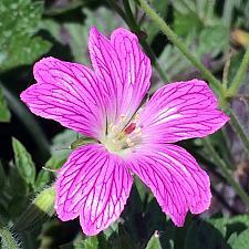 GERANIUM oxonianum 'Miss Heidi', Cranesbill