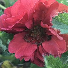 GEUM 'Double Bloody Mary', Grecian Rose, Avens