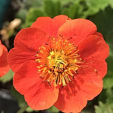 GEUM coccineum 'Koi', Dwarf Grecian Rose, Avens