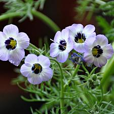 GILIA tricolor, Birds Eyes