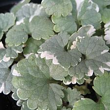 GLECHOMA hederacea 'Variegata', Ground Ivy, Field Balm, Gill-over-the-ground