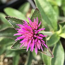 GOMPHRENA pulchella Truffula 'Pink',