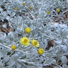 HELICHRYSUM argyrophyllum 'Moe's Gold', Licorice Plant