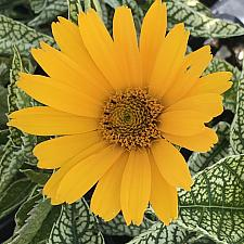 HELIOPSIS helianthoides 'Sunstruck', False Sunflower, Sunflower Heliopsis
