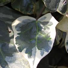 HEDERA helix 'Glacier', English or Common Ivy