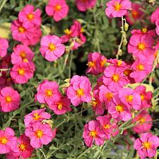 HELIANTHEMUM 'Ben Hope', Sunrose