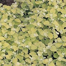 HELICHRYSUM petiolare 'Limelight', Licorice Plant
