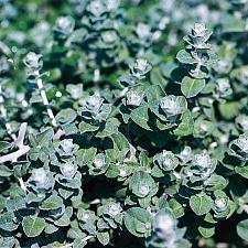 HELICHRYSUM petiolare 'Petite Licorice', Licorice Plant
