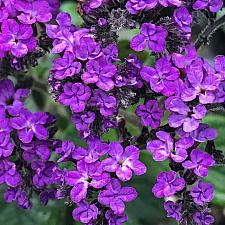 HELIOTROPIUM arborescens 'Fragrant Delight', Heliotrope