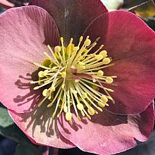 HELLEBORUS Frostkiss 'Penny's Pink', Lenten Rose