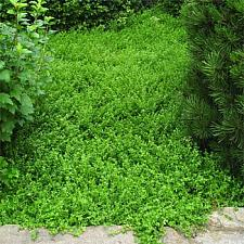 HERNIARIA glabra, Green Carpet, Rupture Wort