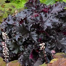 HEUCHERA 'Black Taffeta', Alum Root, Coral Bells