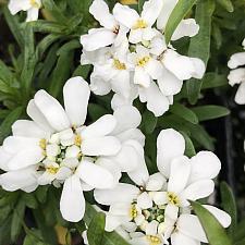 IBERIS sempervirens 'Tahoe', Evergreen or Edging Candytuft