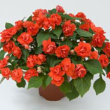 IMPATIENS walleriana 'Musica Orange', Double Impatiens