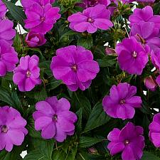 IMPATIENS hawkeri 'Sun Harmony Purple', New Guinea Impatiens