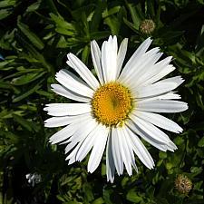 LEUCANTHEMUM x superbum 'Snow Lady', Shasta Daisy