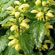 LAMIASTRUM galeobdolon 'Variegatum', Yellow Archangel