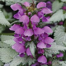 LAMIUM maculatum 'Ghost', Spotted Dead Nettle
