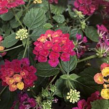LANTANA camara 'Bandana Cherry', Weeping or Trailing Lantana, Polecat Geranium