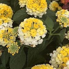 LANTANA camara 'Bandana Lemon Zest', Weeping or Trailing Lantana, Polecat Geranium