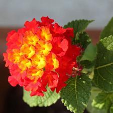 LANTANA 'Dallas Red', Weeping or Trailing Lantana, Polecat Geranium
