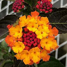 LANTANA camara 'Irene', Weeping or Trailing Lantana, Polecat Geranium