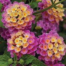 LANTANA camara 'Bandana Landscape Pink', Weeping or Trailing Lantana, Polecat Geranium