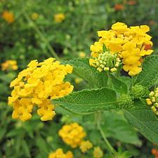 LANTANA montevidensis 'New Gold', Weeping or Trailing Lantana, Polecat Geranium