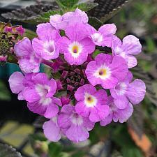 LANTANA montevidensis, Weeping or Trailing Lantana, Polecat Geranium