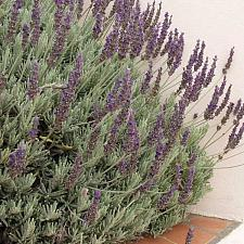 LAVANDULA x heterophylla 'Goodwin Creek Grey', Lavender