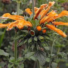 LEONOTIS menthifolia, Dwarf Lion's Tail