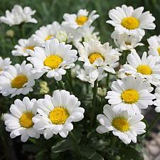 LEUCANTHEMUM 'Darling Daisy', Shasta Daisy