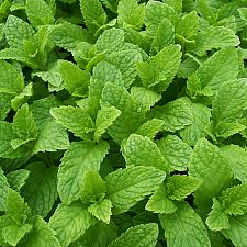 MENTHA spicata 'Kentucky Colonel', Spearmint