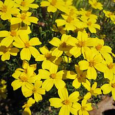 MARIGOLD 'Lemon Gem', Organic Marigold